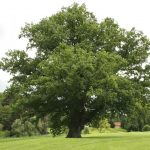 Fascinating Facts About the Mighty Oak